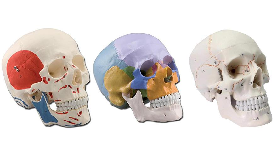 calaveras anatomicas